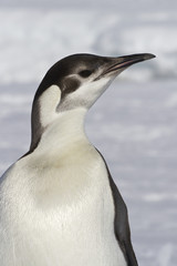 portrait of the emperor penguin that turned his head sunny winte