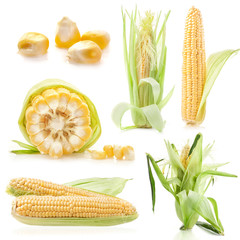 Collections of Fresh raw corn cobs isolated on white