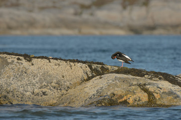 Oyster Catcher Preening
