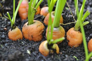 carotte en terre