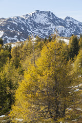 Larch trees in autumn landscape