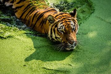 Tiger © ferkelraggae