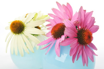 Echinacea flowers isolated on a white background
