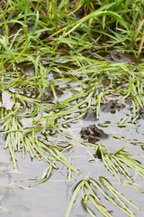 common frogs mating in water