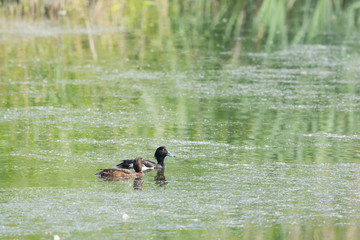 Couple tufted duck
