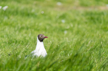 black-headed gull in field