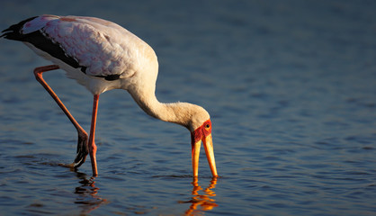 Yellow-billed stork in water