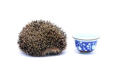 Forest hedgehog with saucer of milk