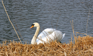 White swan on a pond in Germany
