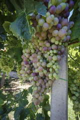 Italy, countryside, grapes in a vineyard