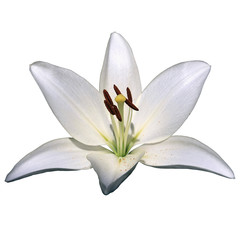 white lily flower on a white background
