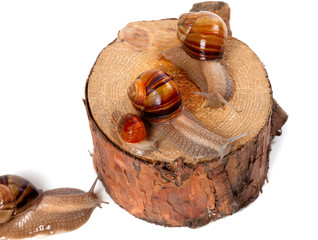 Snails on pine-tree stump