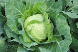 Mellow cabbage vegetable poster