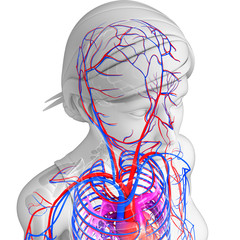 Female Brain circulatory system