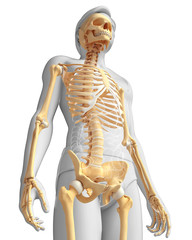 Human skeleton side view