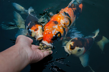 Feeding koi carp by hand