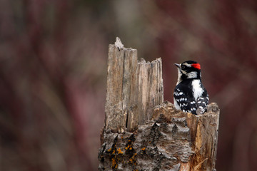Downy Woodpecker on Tree Stump