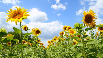 Field of bright yellow sunflowers and blue sky