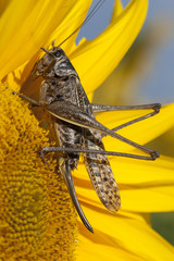 grasshopper on a flower