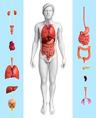 Male organ anatomy