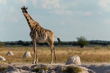 Giraffe at a water hole