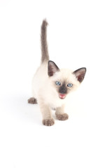 Baby a thai kitten is a traditional or old-style siamese kitten