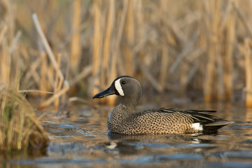 Drake Blue Wing Teal