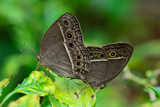 side view  of  brown butterfly (Mycalesis perseus)breeding  on poster