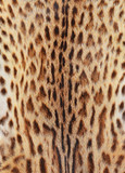 textured tiger pelt poster