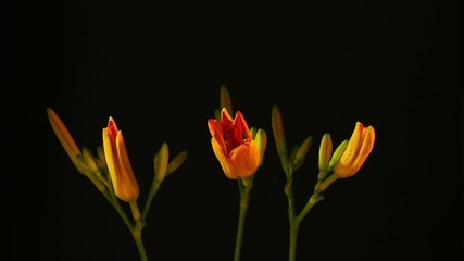 Time lapse of opening three orange lily flowers