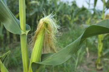 Close up of young ear of corn in midwestern cornfield