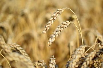 Zwei reife Weizenähren