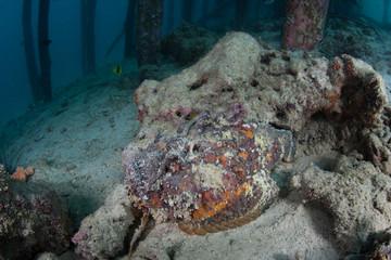 Stonefish Under Pier