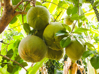Green pomelo fruits on tree