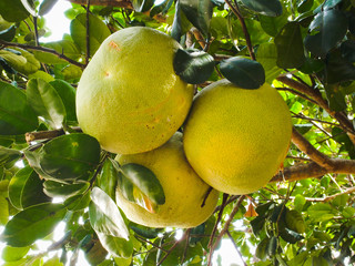 Pomelo fruits on tree
