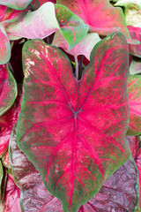 Colorful Caladium leaves on the plant