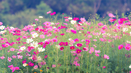 cosmos flower fields in nature vintage