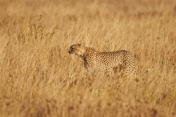 Cheetah in the savanna