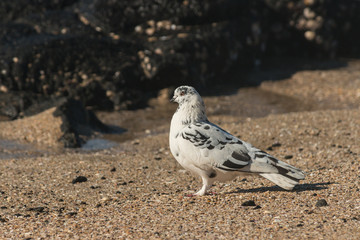 detail of spotted pigeon standing on beach