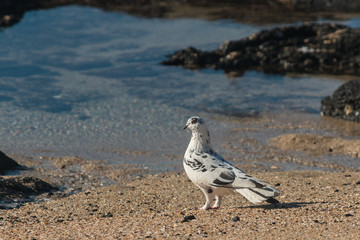 spotted pigeon standing on beach