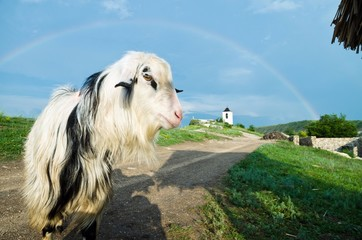 curious goat and the rainbow