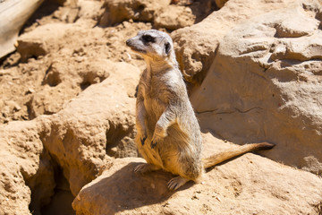 meerkats in the wild africa