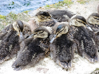 several wild ducklings