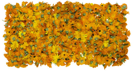 Flowers of a medical calendula background