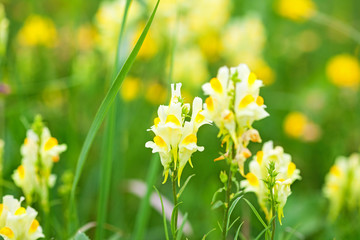 Yellow wild flowers in a meadow
