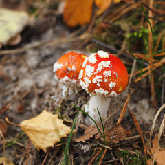 red amanita mushrooms