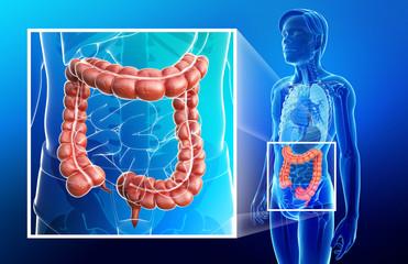 Illustration of male large intestine anatomy