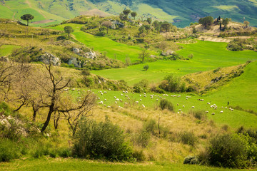 pasture with sheeps herd