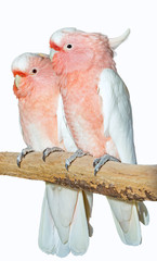 two major Mitchell cockatoos on a white background