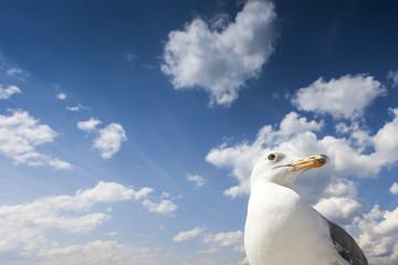 Sea Gull in Oslo. Norway